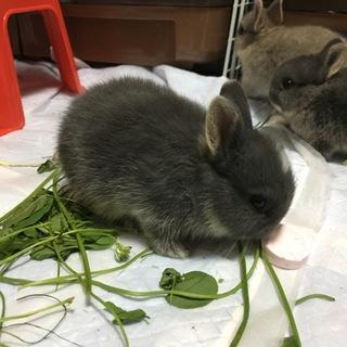 ネザーランドドワーフの仔ウサギ