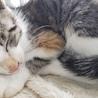 お家決定!海辺の三毛子猫スイレン