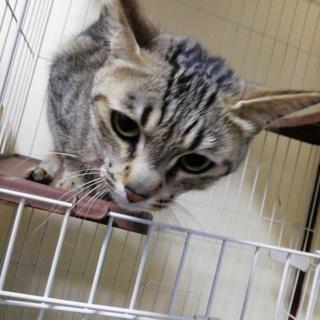 急募!多頭飼育崩壊からの保護猫の里親様募集4歳メス