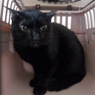 小柄な黒猫【アロマ】