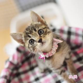 瞳の大きなキジトラ美猫【純雨・碧雨】