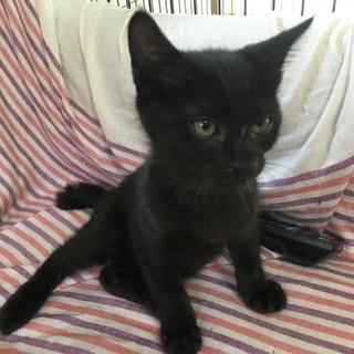 黒猫の子猫(男の子)クロスケ