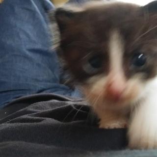 子猫をもらってください