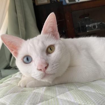 白猫オッドアイ。オスですが、オネエっぽいです。
