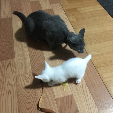 6/15に我が家にやってきた白猫のクック。先住猫・ミールともすっかり打ち解けました。