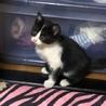 美人猫ちゃん 甘えん坊です。メス♀