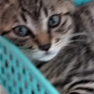 綺麗なキジ猫 ♪ ナダル君 3ヵ月半