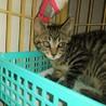 綺麗なキジ猫 ♪ ナダル君 3ヵ月半 サムネイル3