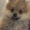 ポメラニアン子犬♂3ヶ月