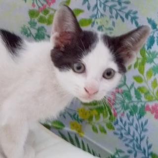 白黒♀約2ヵ月子猫 ◆大分市4月末生まれ