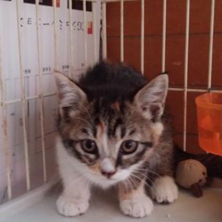 人気のキジ白♪上品なお顔の可愛い仔猫2ヵ月