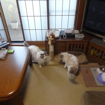 2階リビングでのマリンとカイ君(マリンのトイレ使ってます)