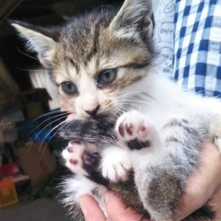 2ヶ月の子猫の里親募集