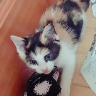 1か月半、三毛の女の子。美猫さんです。