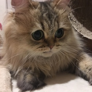 3歳ペルシャ猫女の子