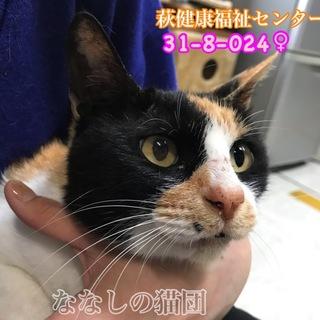 大きな三毛猫さん♡甘えん坊です!024