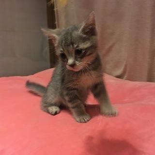 可愛いグレー子猫ちゃん