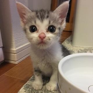 小さなサバ白☆メス 約1.5ヶ月齢