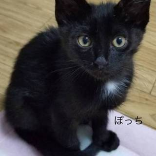 海辺の黒子猫ぽっち♂1kg