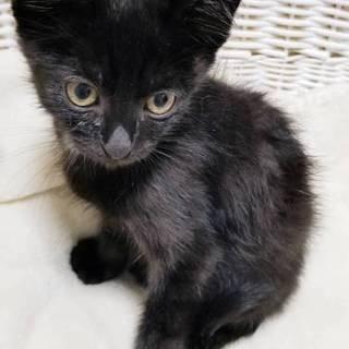 海辺の黒子猫はと♂1kg