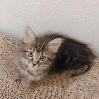 中長毛★美猫  ももちゃん生後約2ヶ月