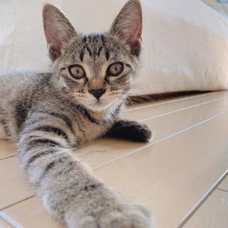 キジ子猫くん保護(6月末にお見合いが決定しました)