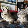 そっくり2匹キジトラ兄妹 サムネイル3