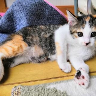 生後二か月ちょっと、三毛猫のはなちゃん♪