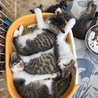子猫はどうして猫トイレで眠ってしまうのだろう