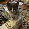 元気で甘えんぼの子猫です サムネイル4