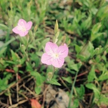 ピンク色の謎の小さき花