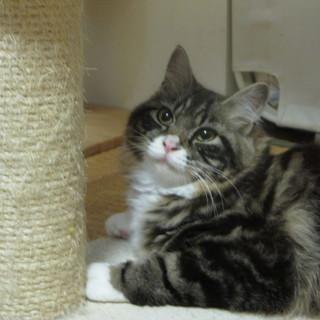 かわいい幼猫の里親さま募集