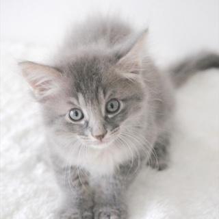 サバトラ子猫 オッジ君 里親様募集