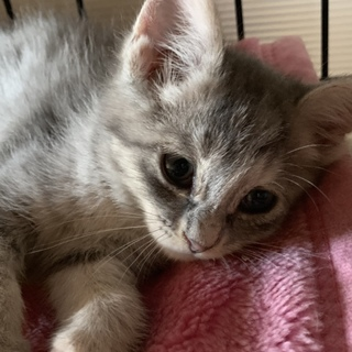 きれいなグレーの美猫姉妹のふみちゃん