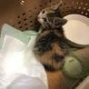 生後4週間前後とみられる子猫♀です。