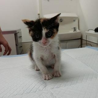 小さい三毛の子猫さん 里親様募集中です