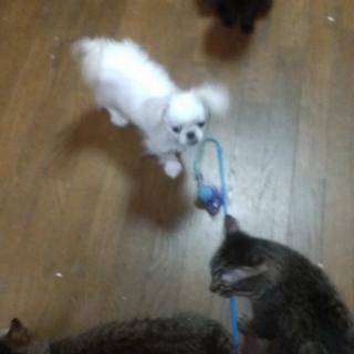 ペキ×チワワ 猫と仲良し♥