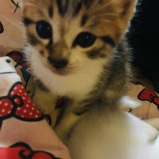 可愛い顔のキジトラ