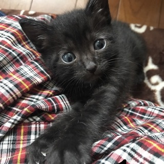生後1ヶ月過ぎ黒オス子猫兄弟