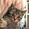 キジ猫2ヶ月か月ぐらい。女の子