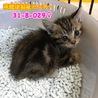 可愛い茶キジちゃん♡母子で4匹で収容(TT)029