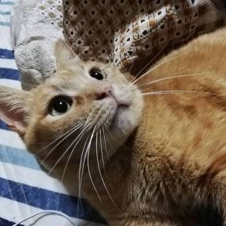 6.29藤井寺サロン譲渡会参加猫オールド♂6歳茶虎