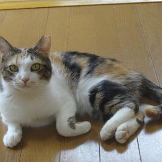 かわいいミケ猫さん里親募集中