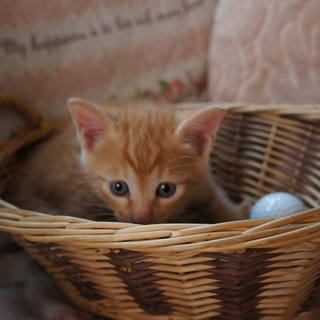 5月20日生まれの可愛い子猫里親募集