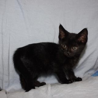 可愛いクリクリお目目の黒猫りりすちゃん