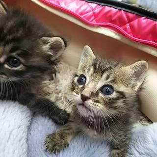 元気な子猫兄弟(1,2か月)