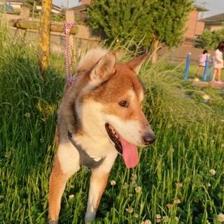 穏やかな四国犬