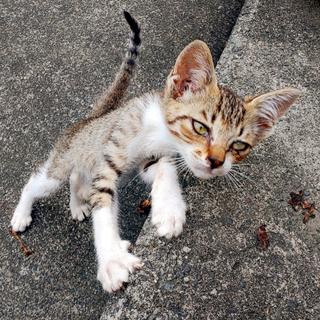 生後1ヶ月半のキジ白・キジトラ子猫