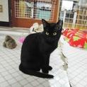 THE 黒猫★しっぽの先まで美しい ダイアナ