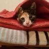 保健所保護猫 1ヶ月 三毛猫子猫里親募集